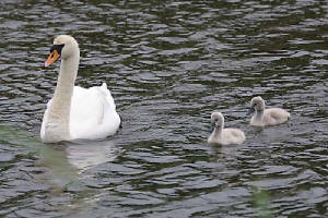 swan and cygnets [click for larger image]