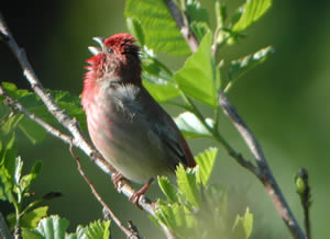 Rose Finch [click for larger image]